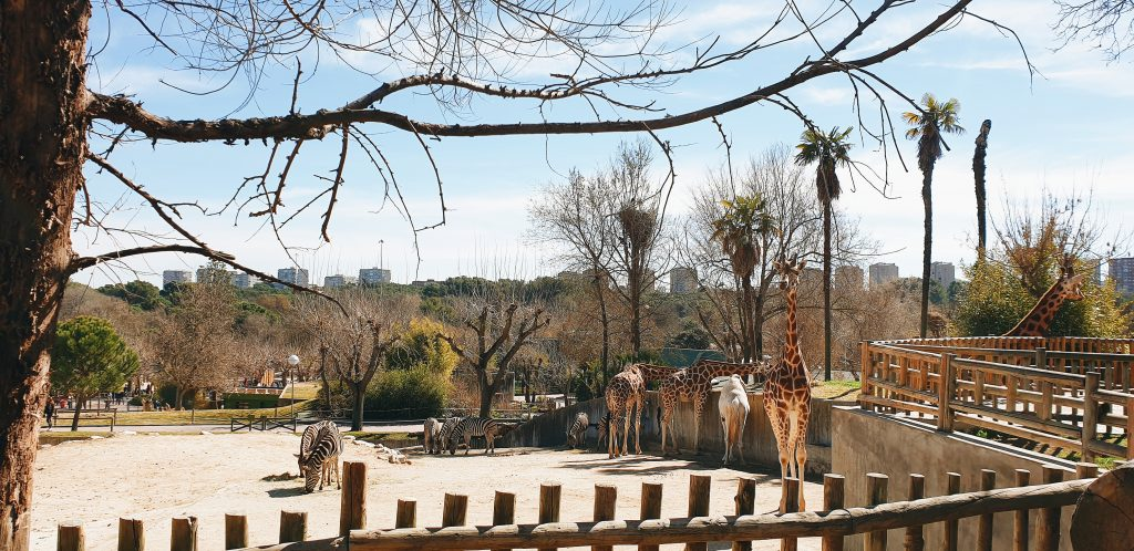 Giraffes at Madrid Zoo Aquarium