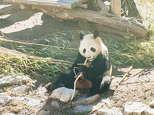 Panda at Madrid Zoo Aquarium