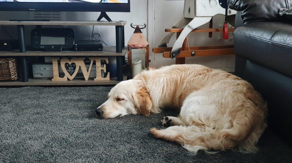 A Golden Retriever puppy asleep
